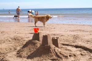Golden retriever on Dawlish Warren Beach.jpg