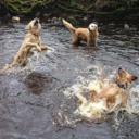 RS3071_Copy of retrievers in river.JPG