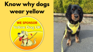 Why dogs wear yellow