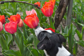 dog sniffing red tulip for a dog photo competition